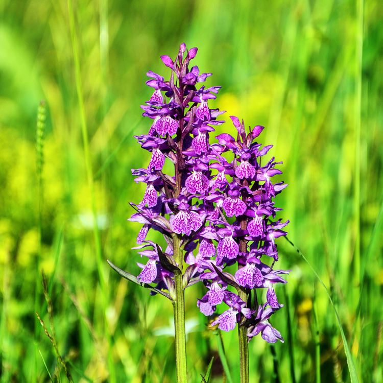 Paarse Orchidee In Grasveld