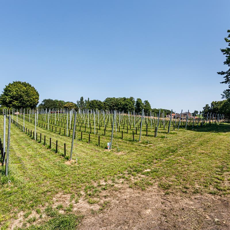 Wijngaard Vroelenderhaag - Foto 2