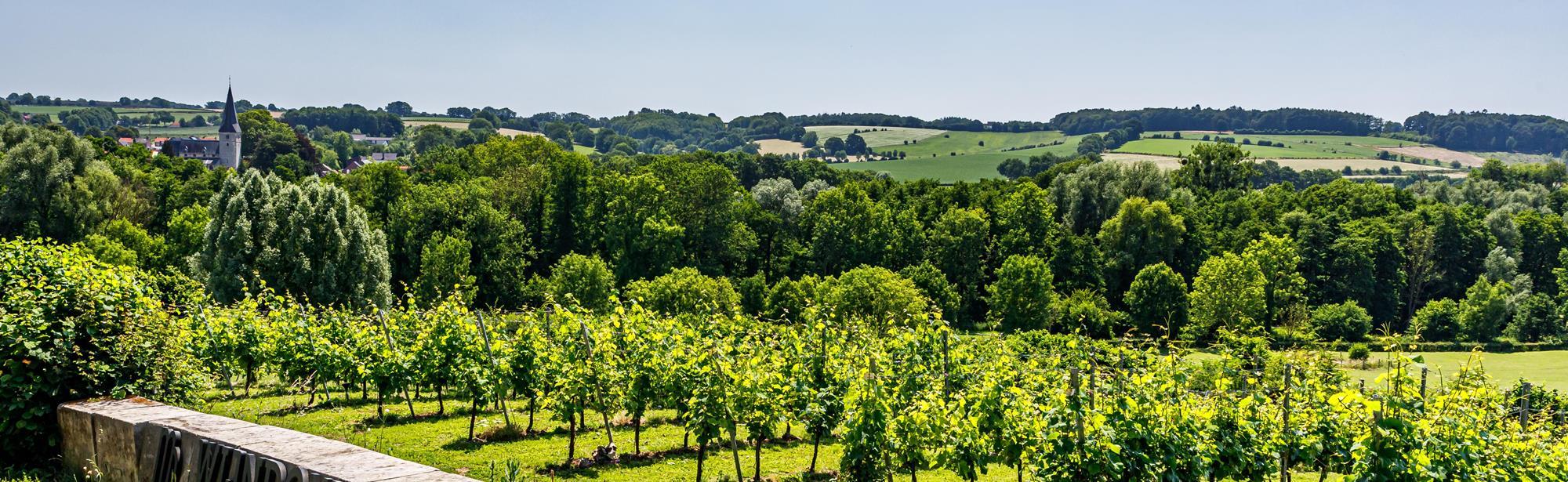 Wijngaarden wandeling Noorbeek Vi2
