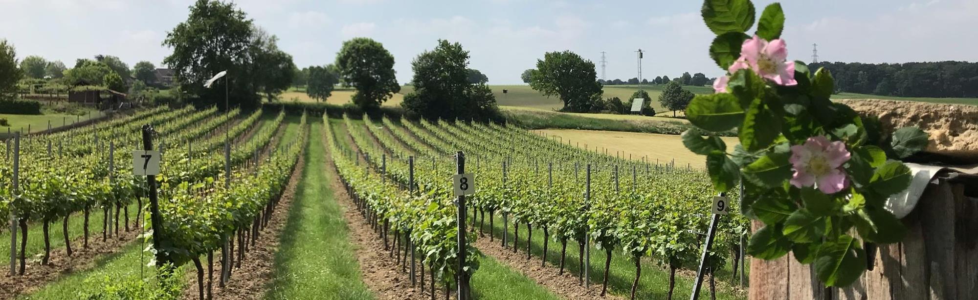 Wijngaard Kruisboom