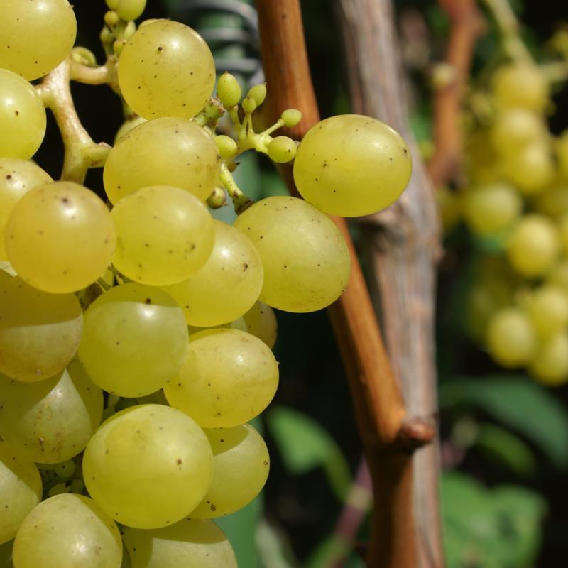 Wijngaard Kruisboom - Foto 3